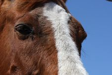 Free Sorrel Horse Royalty Free Stock Photo - 9037115