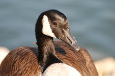 Free Canada Goose Royalty Free Stock Photography - 9037387
