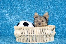 Free Yorkshire Terrier Puppy In Basket With Soccer Ball Stock Photos - 9038593