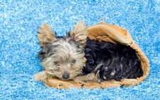 Free Yorkshire Terrier Puppy In A Baseball Glove Stock Image - 9038631