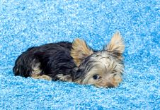 Free Yorkshire Terrier Puppy Royalty Free Stock Photo - 9038695