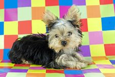 Free Yorkshire Terrier Puppy With Colorful Background Stock Images - 9038774