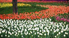Free Tulip Garden Royalty Free Stock Image - 9038776