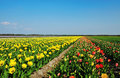 Free Field Of Tulips Royalty Free Stock Image - 9045256