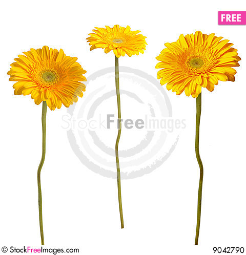 Free Yellow Gerbera Stock Photo - 9042790