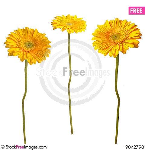 Free Yellow Gerbera Stock Photo - 9042790