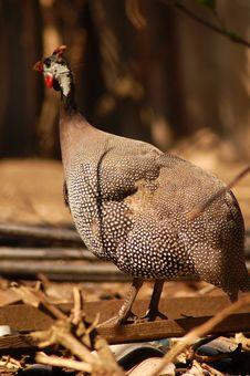 Free Hungarian Chicken Stock Photo - 9040170