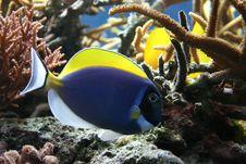 Free Tropical Fish Royalty Free Stock Photos - 9041698
