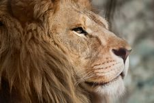 Free Lion Royalty Free Stock Photography - 9043237
