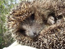 Free Hedgehog Royalty Free Stock Photography - 9044307