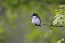 Free Eastern Kingbird (Tyrannus Tyrannus) Royalty Free Stock Photos - 9044638