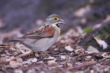 Dickcissel (Spiza Americana) Royalty Free Stock Photography