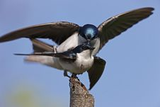 Tree Swallow (Tachycineta Bicolor) Royalty Free Stock Images