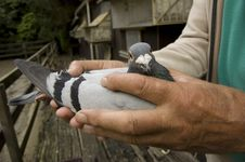 Free Pigeon In The Hands Of His Owner Stock Image - 9044941