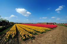 Free Field Of Tulips Stock Photography - 9045412