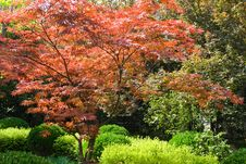 Free Red Maple Royalty Free Stock Image - 9045706