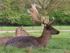 Fallow Deer Buck & Doe Stock Photo