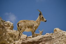 Free Ibex Family Royalty Free Stock Photo - 9046985