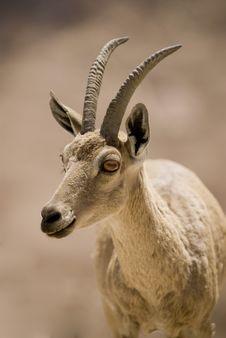 Free Ibex Portrait Stock Image - 9047041