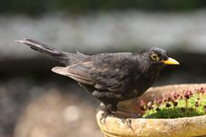 Free Blackbird Royalty Free Stock Photos - 9047768