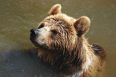 Free Carpathian Brown Bear Royalty Free Stock Photos - 9048038