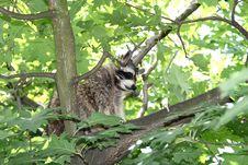 A Raccoon, Hidden Between The Green Leaves Stock Photo