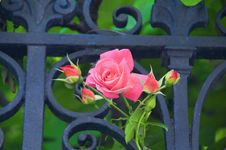Free A Rose From Venice To My Eternal Beloved Elsbeth Dyckhoff Royalty Free Stock Image - 90427116