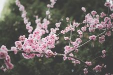 Free Spring Blooms On Branches Royalty Free Stock Photography - 90429577