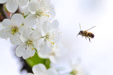 Free Bee Flying To Flower Stock Image - 90490721