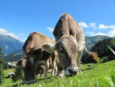 Free Cows Grazing In Mountain Pasture Stock Images - 90492074