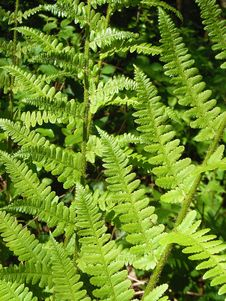 Free Plant, Ferns And Horsetails, Ostrich Fern, Fern Royalty Free Stock Images - 90492339