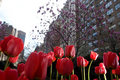 Free Tulip Flowers In New York City Park Stock Photography - 9059442