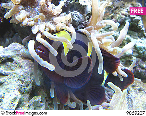 Free Anemonefish W/ Host Royalty Free Stock Photography - 9059207