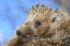 Free Hedgehog Royalty Free Stock Image - 9050066