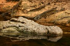 Free Croc Head Royalty Free Stock Photo - 9050295