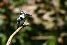 Free Pied Kingfisher Stock Photo - 9050550