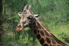 Free Giraffe Royalty Free Stock Photography - 9050667