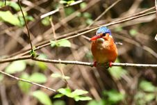 Free Malachite Kingfisher Stock Photos - 9050903