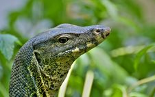 Free Lizard In The Nature Royalty Free Stock Photo - 9050935