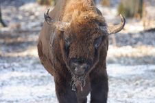 Free Wisent S Portrait Royalty Free Stock Image - 9050976