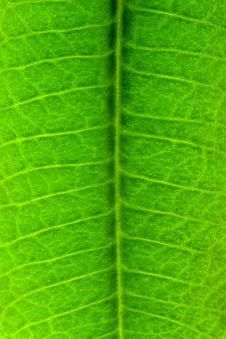 Free Green Leaf Texture Royalty Free Stock Images - 9051769