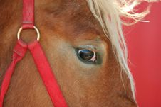 Work Horse With Red Bridle Royalty Free Stock Image