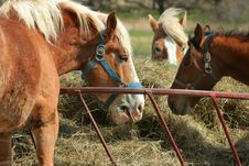 Free Three Horses Eating Hay Royalty Free Stock Photography - 9052307