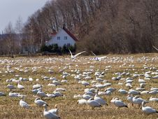 Free White Goose Migration From Canada Stock Photo - 9052500