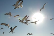 Free Sea Gulls In The Sun Royalty Free Stock Photos - 9052538