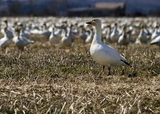 Free White Goose In A Group Stock Image - 9053171