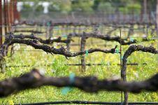 Free Close-up At A Vineyard Royalty Free Stock Photo - 9054375