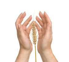 Free Farmer Presenting Wheat As A Gift Royalty Free Stock Image - 9054656