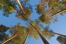 Free Pine Tops Stock Image - 9054691