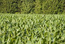 Free Corn Stock Images - 9056224